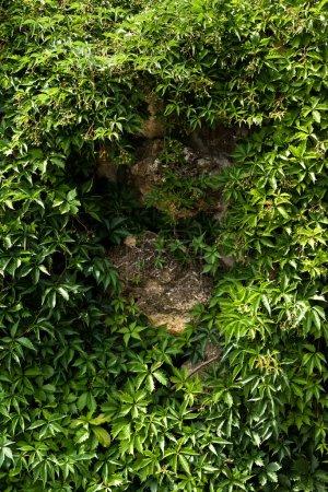 Photo pour Feuilles fraîches vertes sur la plante près des pierres en été - image libre de droit