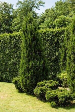 Photo pour Sapin vert près des buissons et des usines sur l'herbe dans le stationnement - image libre de droit