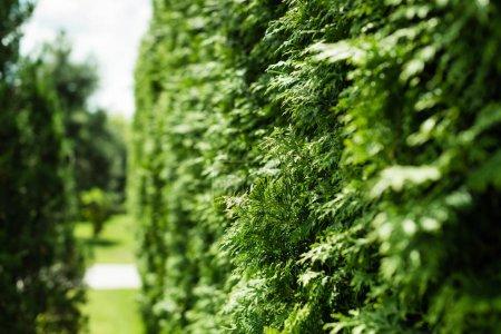 Foto de Selective focus of green fir tree with needles in summertime - Imagen libre de derechos