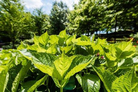 Photo pour Mise au point sélective de la lumière du soleil sur les feuilles fraîches vertes dans le stationnement - image libre de droit