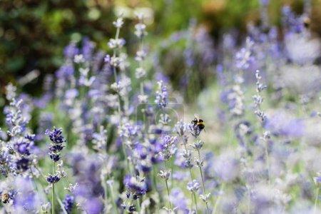 Photo pour Focus sélectif de fleurs de lavande pourpre en fleurs en été - image libre de droit