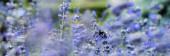 """Постер, картина, фотообои """"панорамный снимок цветущих фиолетовых цветов лаванды в летнее время"""""""