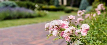 Foto de Foto panorámica de hortensias en flor rosa cerca de la pasarela en el parque - Imagen libre de derechos