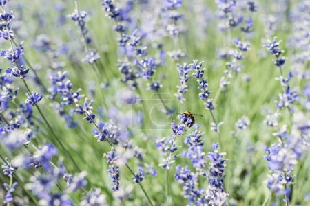 Photo for Selective focus of bee on blooming purple lavender flowers in summertime - Royalty Free Image