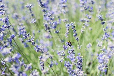 Foto de Selective focus of bee on blooming purple lavender flowers in summertime - Imagen libre de derechos