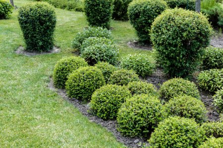 Photo for Selective focus of green leaves on bushes on grass in park - Royalty Free Image