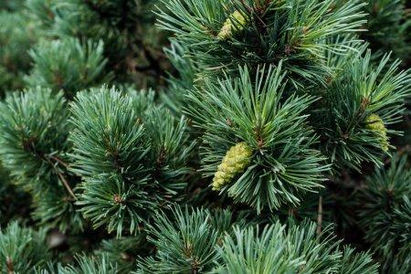 Photo pour Fermer des aiguilles sur le pin vert avec des cônes de pin en été - image libre de droit