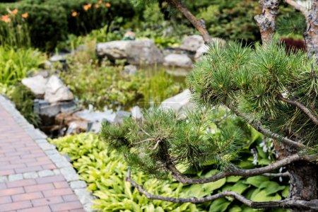 Photo pour Foyer sélectif de pin vert près de passerelle dans le stationnement - image libre de droit