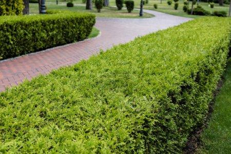 Photo pour Foyer sélectif de pins avec aiguilles vertes près du chemin - image libre de droit