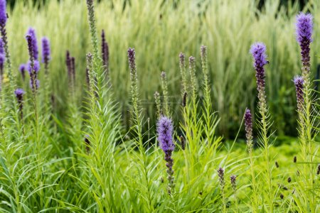 Photo pour Selective focus of blooming purple lupines in green grass - image libre de droit