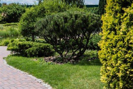 Photo pour Foyer sélectif des sapins avec des aiguilles vertes sur l'herbe sur le stationnement - image libre de droit