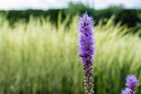 Photo for Selective focus of blooming purple lupines in summertime - Royalty Free Image