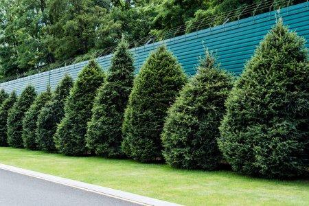 Photo pour Sapins verts moelleux sur l'herbe près de la clôture en été - image libre de droit