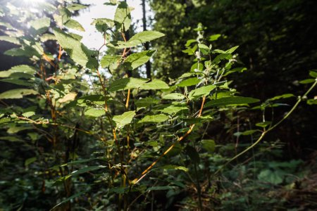 Photo pour Focus sélectif du soleil sur les feuilles fraîches vertes dans les bois - image libre de droit