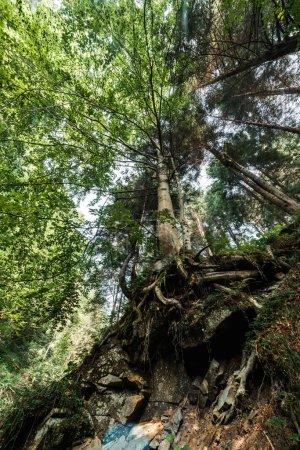 Photo pour Vue inférieure des feuilles vertes sur des arbres dans des bois - image libre de droit