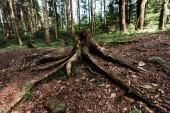 """Постер, картина, фотообои """"нарубленное дерево с корнями возле растений в лесу"""""""
