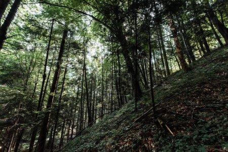 Photo pour Vue à angle bas des arbres avec des feuilles vertes dans les bois - image libre de droit