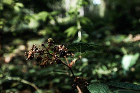 Photo pour Focus sélectif de mûres savoureuses dans les bois - image libre de droit