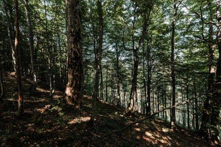 Photo pour Soleil sur les arbres avec des feuilles vertes et fraîches dans les bois - image libre de droit