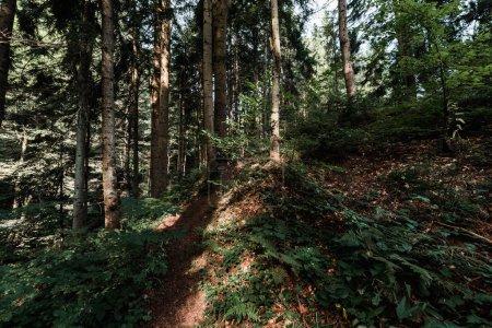 Photo pour Soleil sur les arbres avec des feuilles vertes et fraîches dans la forêt - image libre de droit