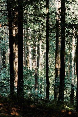 Photo pour Ombres sur les arbres avec des feuilles vertes dans la forêt - image libre de droit
