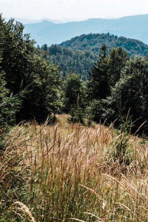 Photo for Golden field with barley near green trees and mountains - Royalty Free Image