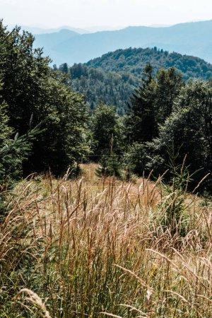 Photo pour Champ doré avec orge près des arbres verts et des montagnes - image libre de droit