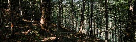 Photo pour Coup panoramique des ombres sur le sol près des arbres avec les feuilles fraîches vertes dans la forêt - image libre de droit
