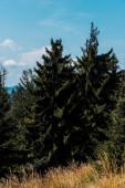 green firs near golden barley field against blue sky
