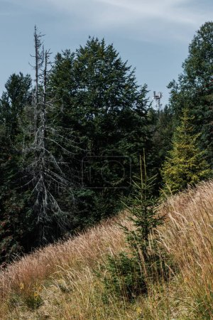 Photo for Evergreen pines near golden barley field in woods - Royalty Free Image