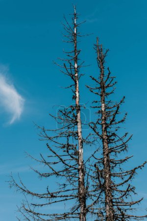 Photo for Low angle view of pines against blue sky - Royalty Free Image