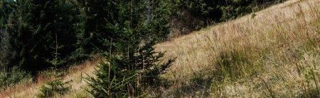 Photo pour Coup panoramique de pins à feuilles persistantes près du champ d'orge doré - image libre de droit