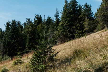 Photo for Evergreen firs near golden field against sky - Royalty Free Image