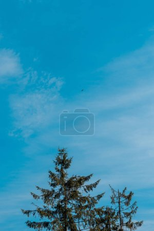 Photo for Low angle view of evergreen fir trees against blue sky - Royalty Free Image