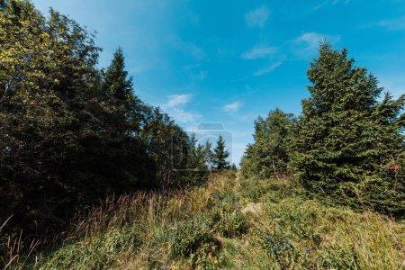 Photo pour Pins à feuilles persistantes près du champ d'or contre le ciel avec des nuages - image libre de droit