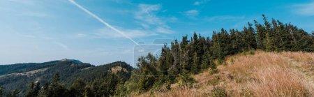 Photo pour Tir panoramique de pins à feuilles persistantes près du champ d'or contre le ciel - image libre de droit
