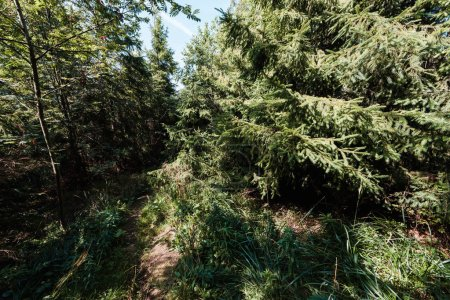 Photo pour Soleil sur les sapins à feuilles persistantes dans la forêt tranquille - image libre de droit