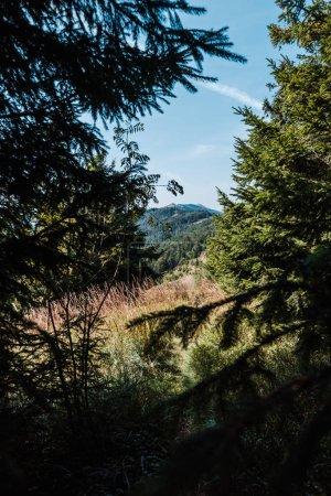 Photo pour Pins verts près du champ d'or contre le ciel bleu - image libre de droit