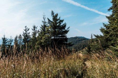 Foto de Campo de cebada amarilla cerca de pinos contra el cielo azul - Imagen libre de derechos