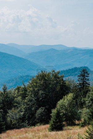 campo de oro con pinos en las montañas contra el cielo