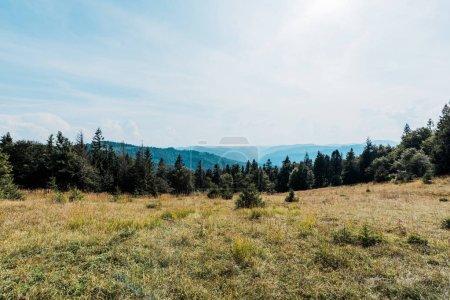 Photo pour Pins dans le champ d'or dans la vallée de montagne - image libre de droit