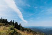 """Постер, картина, фотообои """"золотое поле в горах с зелеными соснами на фоне неба с облаками"""""""