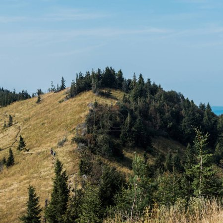 Photo for Golden field near green fir trees on hill against blue sky - Royalty Free Image
