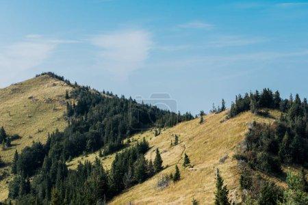 Photo pour Champ jaune près des sapins verts sur des collines contre le ciel bleu - image libre de droit
