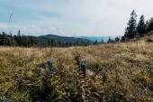 wildflowers in golden field near mountains against sky