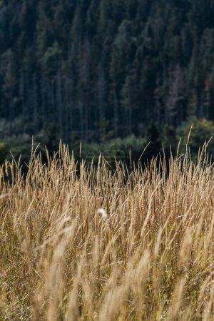 Photo pour Foyer sélectif du champ d'or avec l'orge sur la colline près des pins verts - image libre de droit