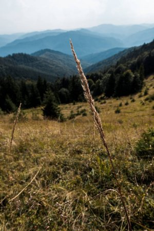 Photo pour Focus sélectif de l'orge près des montagnes avec des arbres verts - image libre de droit