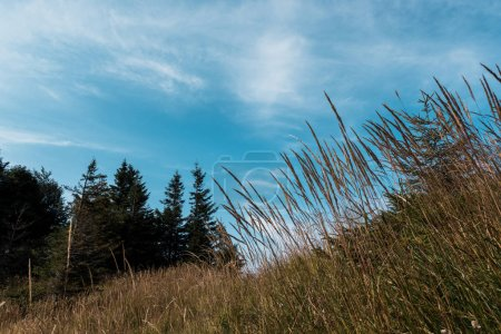 Photo for Low angle view of golden meadow on hill with green trees against blue sky - Royalty Free Image
