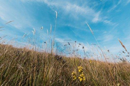 Photo pour Fleurs sauvages jaunes fleurisssantes dans le domaine contre le ciel - image libre de droit