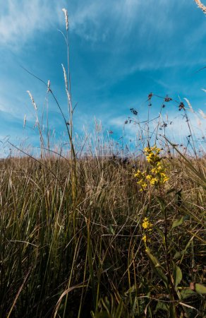 Photo for Yellow blooming wildflowers in field against blue sky - Royalty Free Image